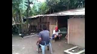 Download Ternak Ayam Bangkok Bp Uci Cilamaya part 1.mp4 Video