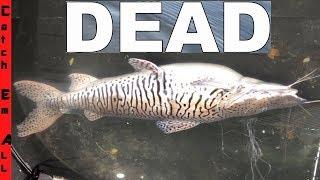 Download RARE TIGER CATFISH CAUGHT DEAD! Video