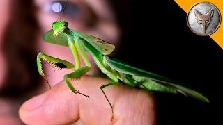 Download Incredible Leaf Mantis! Video