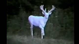 Download White Monarch albino white-tailed deer Video