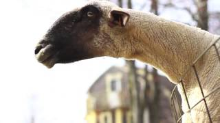 Download Goats Yelling Like Humans - Super Cut Compilation Video