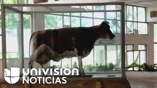 Download La vaca que Fidel Castro dijo que produciría más leche que Holanda Video