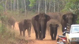 Download ช้างป่าทองผาภูมิ โขลงใหญ่ไล่กวดเจ้าหน้าที่ Video