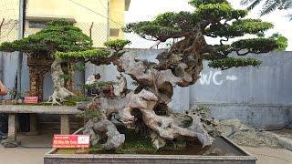 Download ″CHOÁNG VÁNG″ với dàn cây Bonsai lên đến 120 Tỉ tại Hưng Yên Video