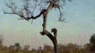 Download Male Leopard Falls Out of Tree - Londolozi Video