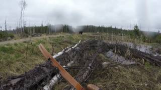 Download Black bear charge(attack) fire river ontario spring 2017 Video