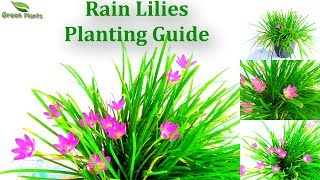 Download Rain Lilies Planting Guide With UPDATE | How to Grow Lots Of Rain Lilies in a Pot //GREEN PLANTS Video