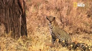 Download La chasse du léopard Video