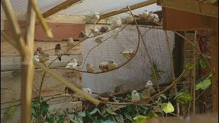 Download My Aviaries Today - Finches, Parakeets, Doves, Canaries and Budgies Video