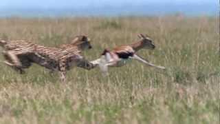 Download Cheetah - Fastest Running Animal - 1080 HD Video