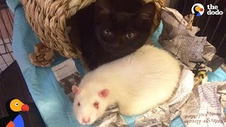 Download Rats Take Care of Rescue Kittens | The Dodo Video