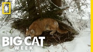 Download Top 3: Cougar Facts   Big Cat Week Video