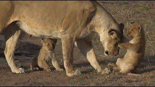 Download SafariLive Oct 02 - Very cute Mara lion cubs! Video