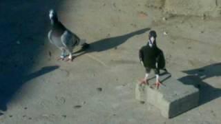 Download adana güvercinleri.wmv Video