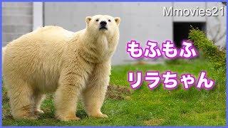 Download けたたましい音が気になるリラ それでもララは・・Polar Bear ″Lila″ responded to sound Video