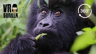 Download Meet The Mountain Gorillas (360 VR Video 4k) Video