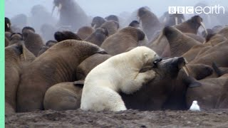 Download Polar Bear vs Walrus | Planet Earth | BBC Earth Video