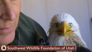 Download Feeding critically ill Bald Eagle March 26 2013 Video