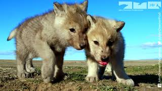 Download Robotic Wolf hangs out with Wolf Cubs at Den Video