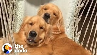 Download 5 Things Every Golden Retriever Owner Knows | The Dodo Video