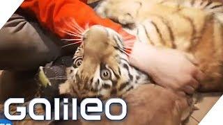 Download Ein Tiger als Haustier   Galileo   ProSieben Video