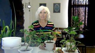 Download Занимаюсь комнатными растениями.Пеларгония Финики Замиокулькас. Video
