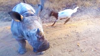 Download Rhino That Thinks It's A Goat Video