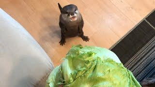 Download カワウソさくら レタス一玉あげたら大変なことになった I gave the otter an whole lettuce Video