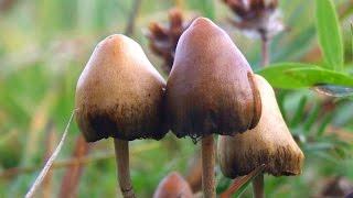 Download Magic mushrooms could treat mood disorders Video