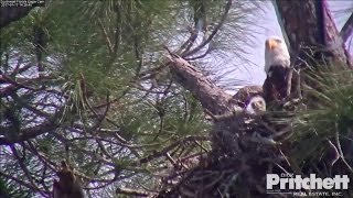 Download Southwest Florida Eagles - E9, 17 Days Old / January 17, 2017. (2) Video