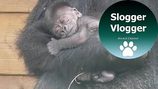 Download Adorable 5 Day Old Gorilla Baby And Brothers Reaction Video