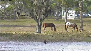 Download SWFL Eagles ~ Dances With Fish; Hopping, Flapping & Horses E9's 12 Week Birthday 3.25.17 Video