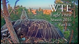 Download Life in white-tailed eagles' nest in Estonia. Part 1, 2016 Video