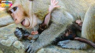 Download OMG! Why Dana monkey doing to just newborn baby like this   Very pity newborn baby Monkey Daily 311 Video