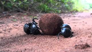 Download True Facts About The Dung Beetle Video