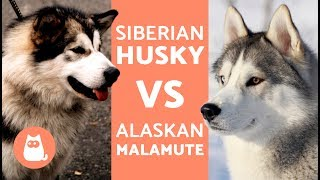 Download Husky Vs Alaska – Differences Between Siberian Husky and Alaskan Malamute Video