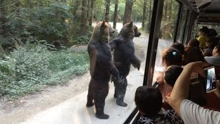 Download Watch These Bears Walk on Hind Legs Entertaining Surprised Tourists Video