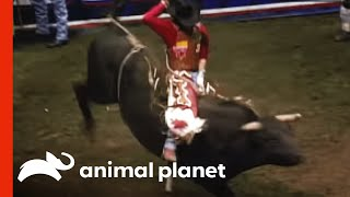Download Rodeo Bull Attack Video