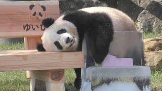 Download 【ノーカット✨】ベンチに氷✨🎀結浜のプレゼントいじり📦💕【2歳のお誕生日🎂】Giant Panda -Yuihin-☆New bench✨ Video