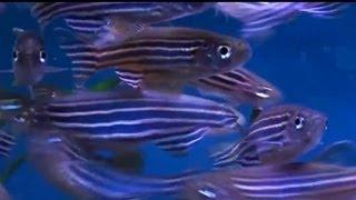 Download Zebrafish / Zebra Danio (Danio rerio) - Tropical Fish Video