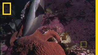 Download Octopus Kills Shark | National Geographic Video