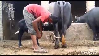 Download Buffalo Dairy Farm Usman Cheema 226 Video