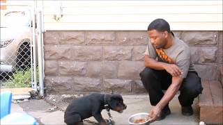 Download Aggressive Rottweiler Puppy Video