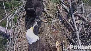 Download SWFL Eagles ~ Tug-O-Squirrel With Mom 2.24.17 Video