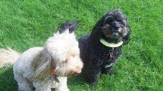 Download Cockapoos Frankie & Olly meet Puggle Millie. Video