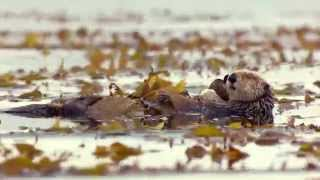 Download A Sea Otter's life - Big Blue Live: Episode 2 - BBC One Video