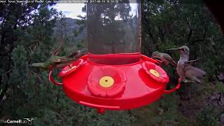 Download Foraging Rufous Hummingbird Flashes Iridescent Orange Throat Patch – August 18, 2017 Video