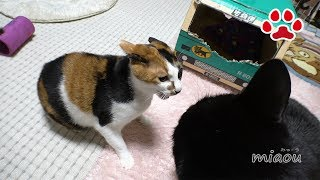 Download みけとくろ ~果てしない戦い~【瀬戸の猫部屋日記】Endless quarrel between Mi ke and Kuro Video