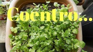 Download Como Plantar Coentro da Forma Mais Facil (inicio,meio,fim) Video
