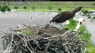 Download Hellgate Ospreys Start Off the Day With a Fish – June 26, 2018 Video